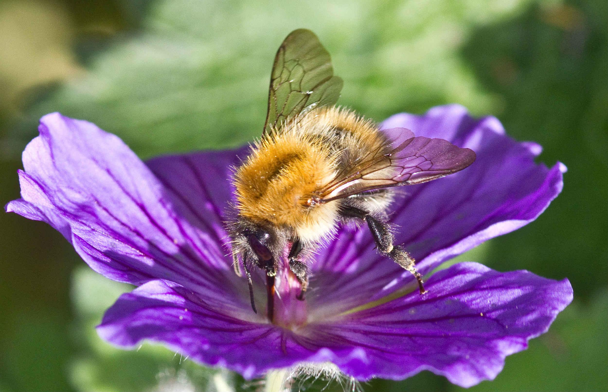 Hjælp vilde bier med din smartphone
