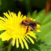 Regeringen kæmper for sprøjtegift, der dræber vilde bier
