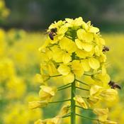 Ny forskning: Svampemidler er også en trussel for bierne