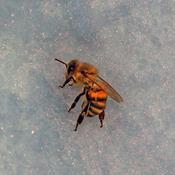 Ny undersøgelse fastslår: Omstridt gift dræber bier
