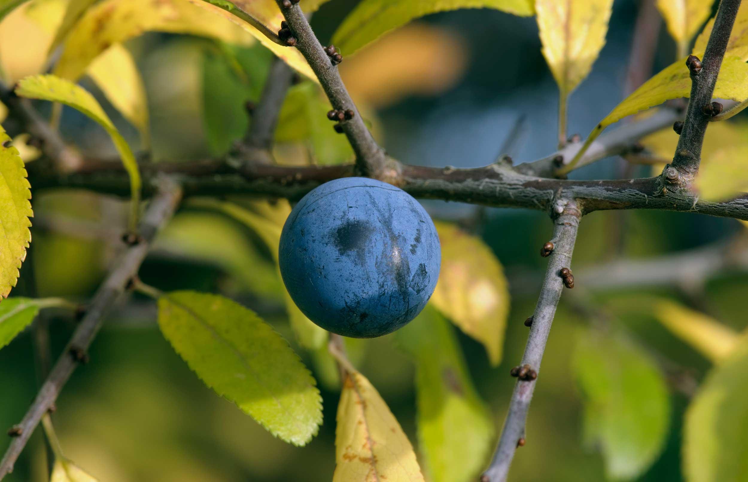 De her bær og frugter skal du sanke i efteråret