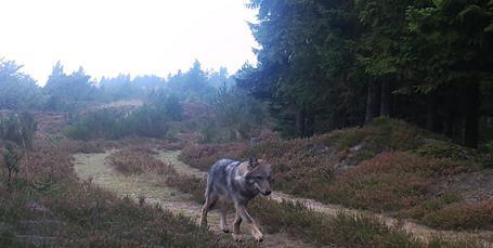 Nu kan du hjælpe forskere med at tracke ulven