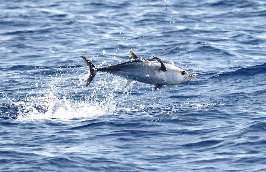 Den blåfinnede tun svømmer tilbage til Danmark