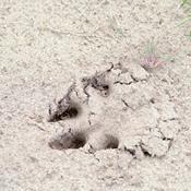 På jagt efter den rigtige ulv