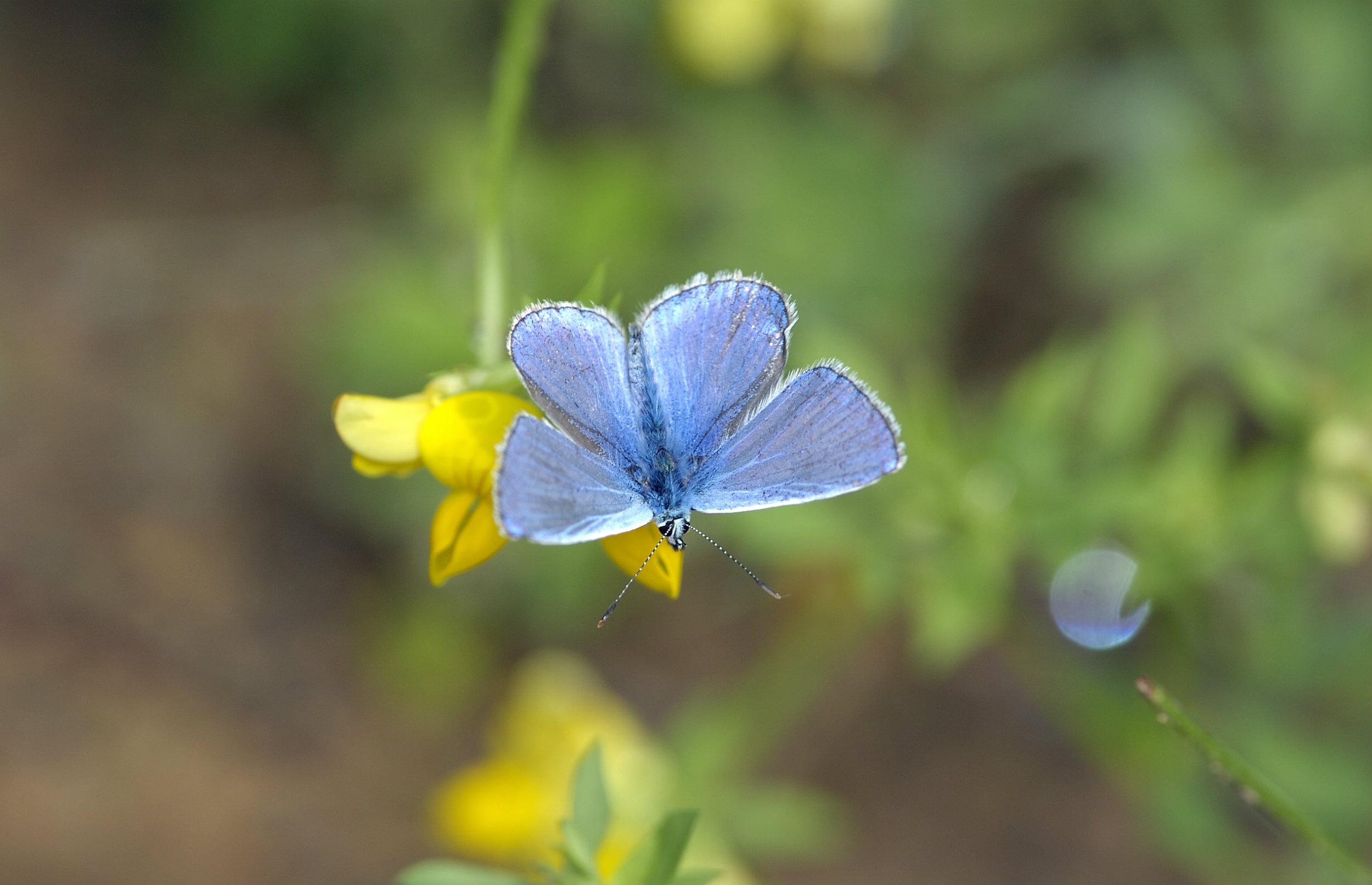 Nyt partnerskab skal hjælpe sommerfuglene i Storkøbenhavn