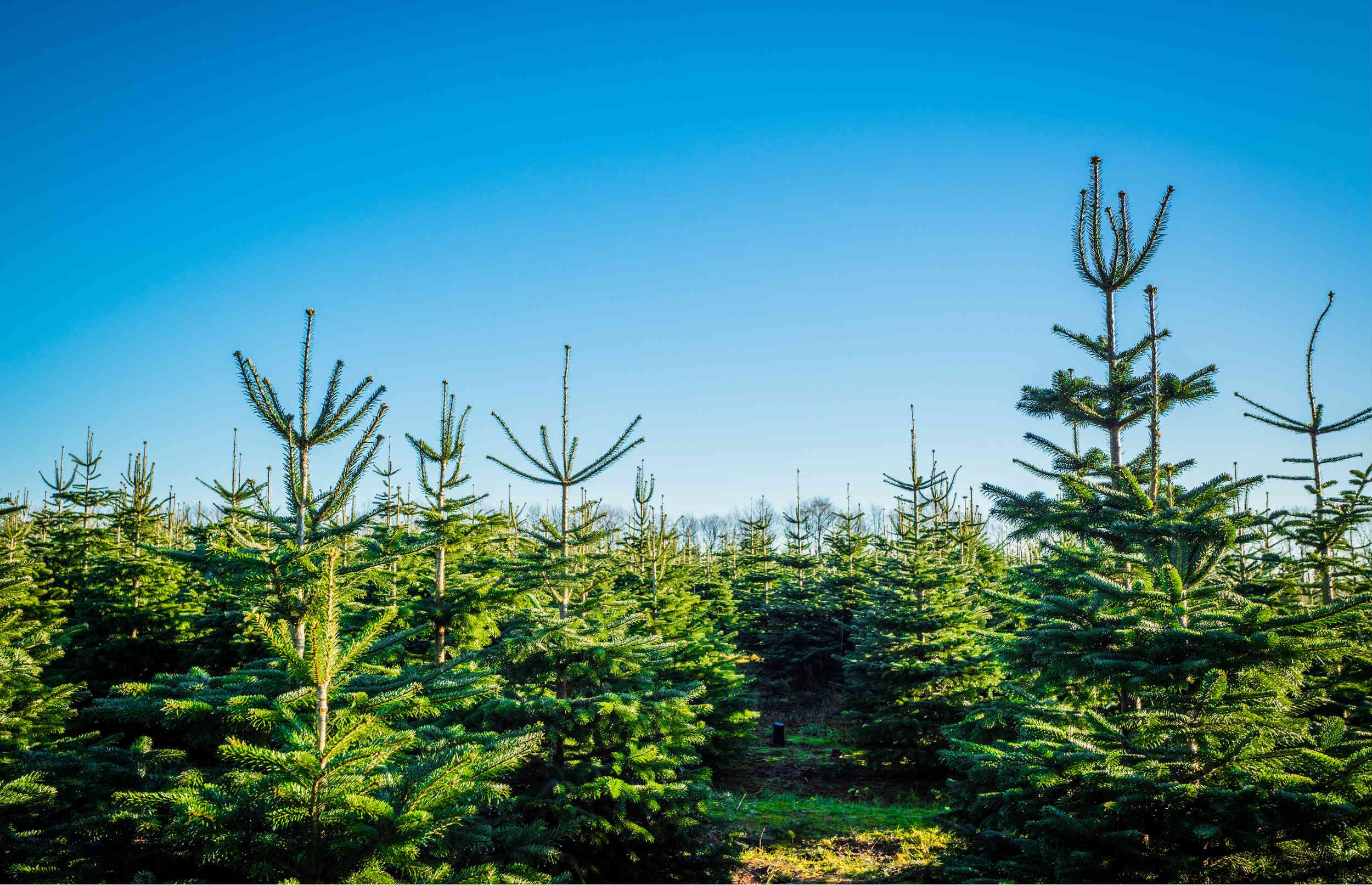 Find dit øko-juletræ her