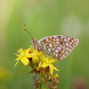 Nyt samarbejde skal hjælpe truede sommerfugle