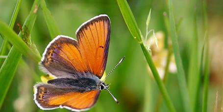 Nyt partnerskab skal hjælpe sommerfuglene