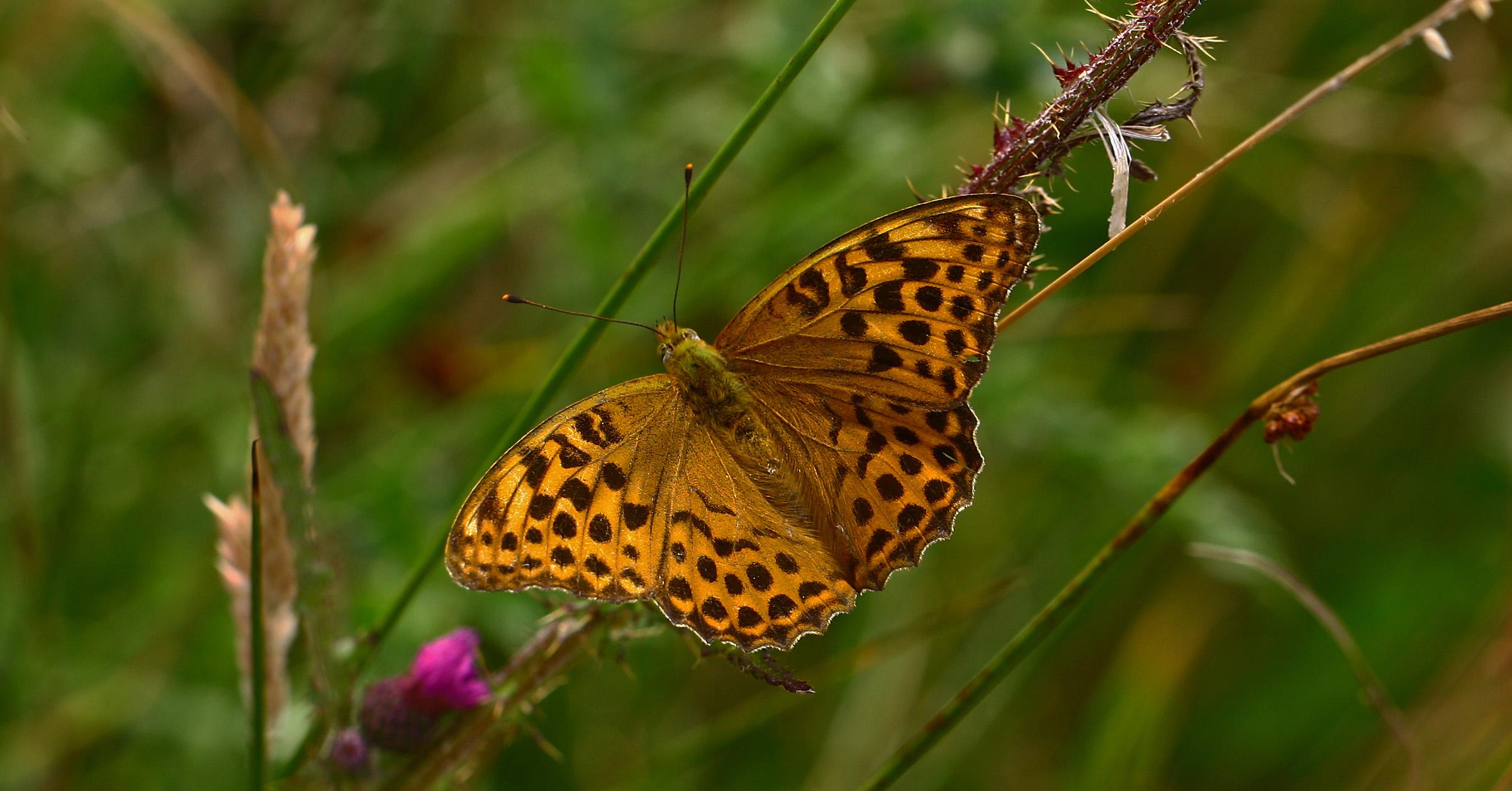 Ny optælling: Færre sommerfugle på vingerne i år