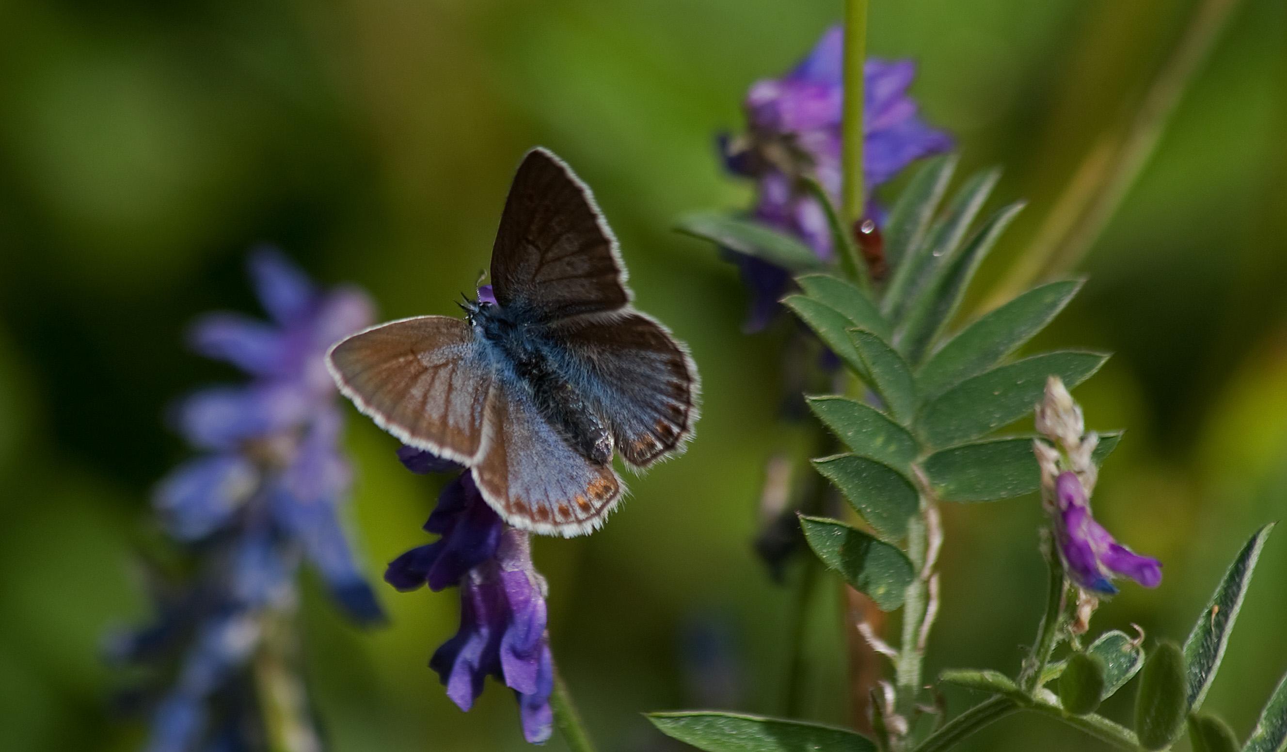 Giv plads til sommerfuglen i din have