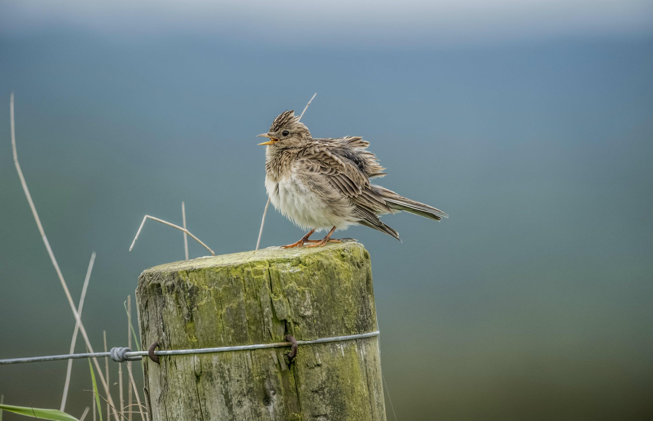 3 ud af 10 ynglende fuglearter er i tilbagegang