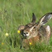 Derfor er påskeharen ikke en hare