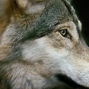 Ny rapport: Danmark får flere ulve