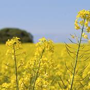 Landmænd får igen udsat fristen for at så efterafgrøder