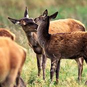 Nyt lovforslag kan indebære jagt i yngletiden