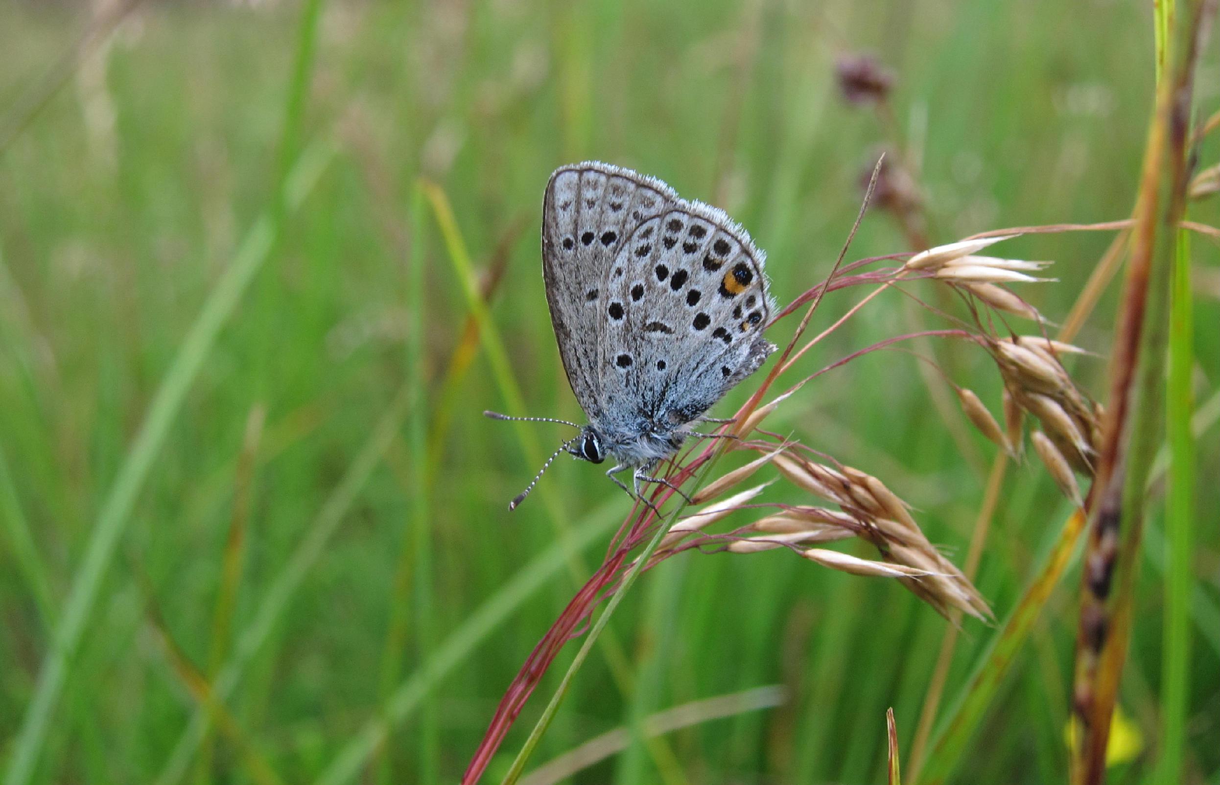 Ny optælling: Danske sommerfugle dør i massevis
