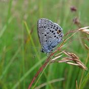 Kommunerne står i kø for at redde truede sommerfugle