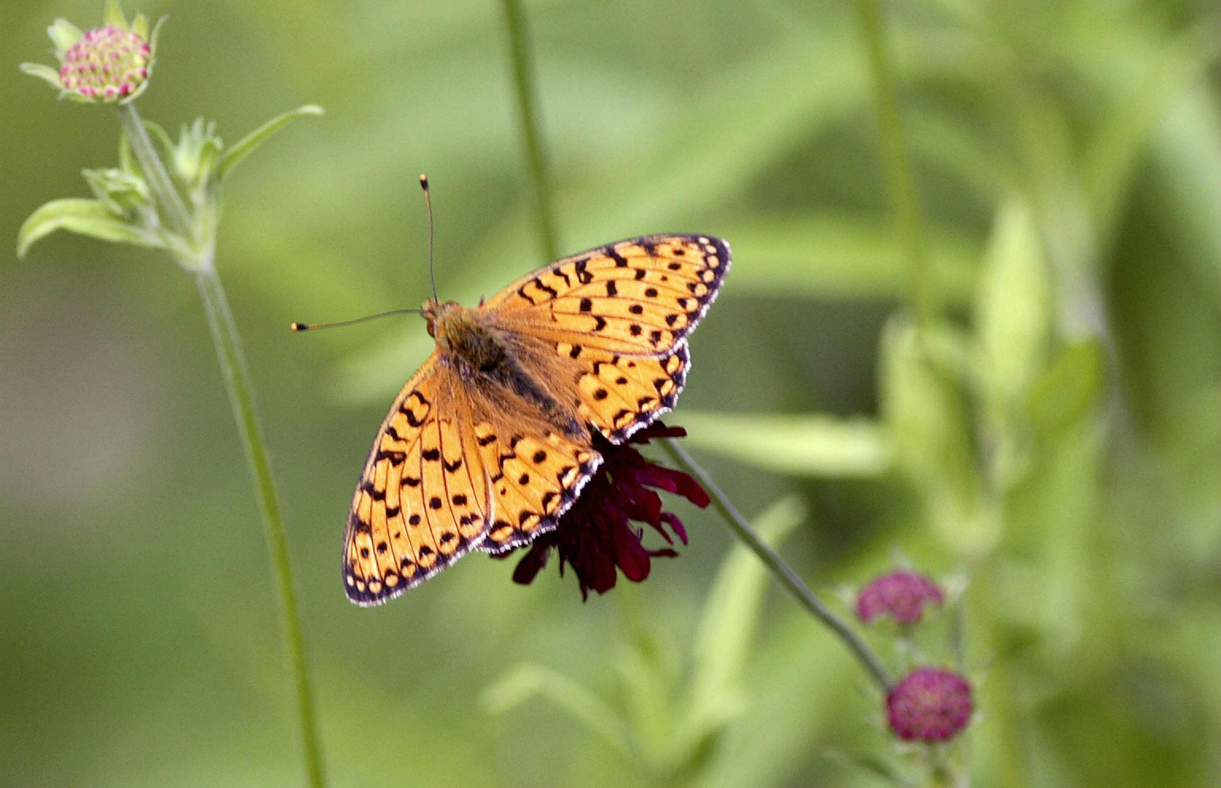 Tusindvis af haveejere kommer sommerfuglene til undsætning