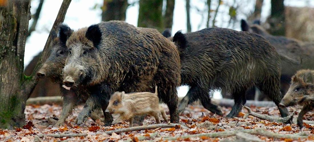 Døde vildsvin på Ærø skal ikke undersøges for svinepest: Bizart, mener DN