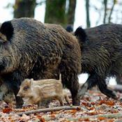 Organisationer går til EU med vildsvinehegn