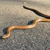 2 slanger der spøger i Danmark