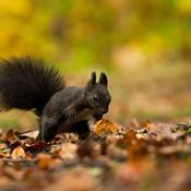Det sorte egern var træernes konge i 11.000 år. Så kom det røde egern