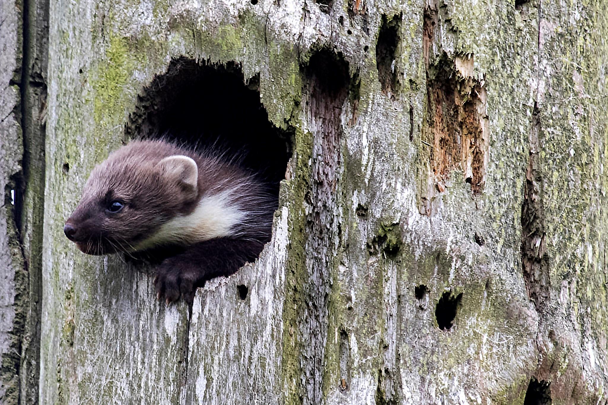 Den truede skovmår trives i Holstebros skove