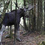Der lever en vild elg i Danmark. Men hvor er den henne?