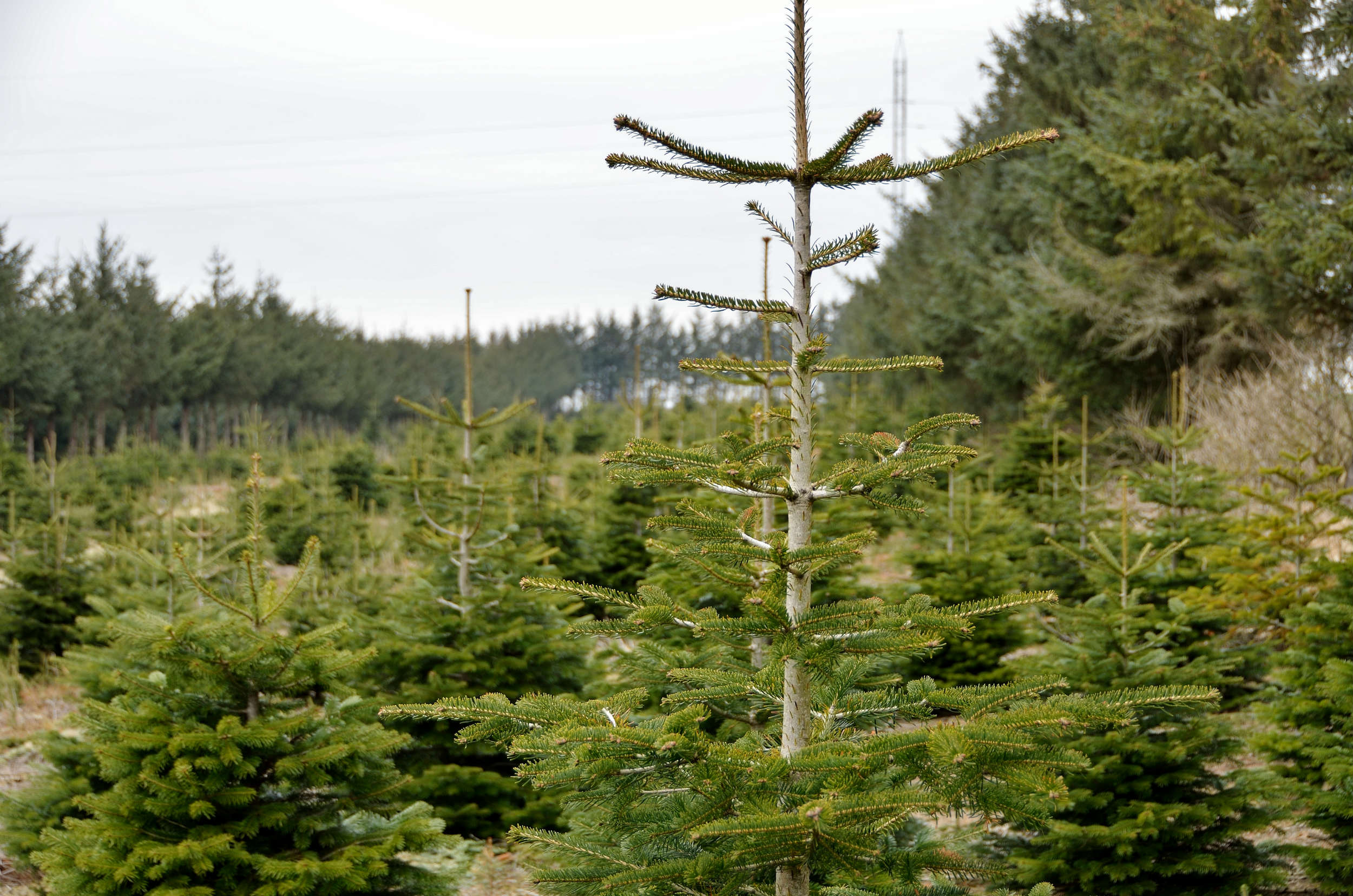 Vis omtanke for naturen: Vælg et økologisk juletræ