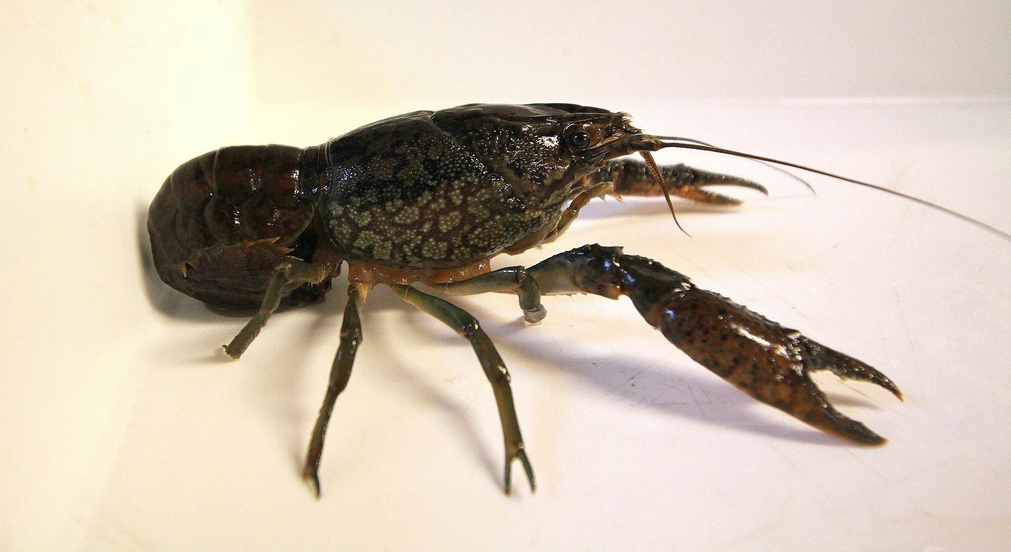Invasiv krebseart fundet i Danmark
