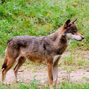 Ulve yngler: Stadig ingen fare for os