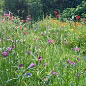 Sådan forvandler du din græsplæne til en vild blomstereng