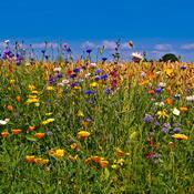Skolebørn planter vilde blomsterenge til bier og sommerfugle