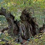 Sådan bevarer du træer