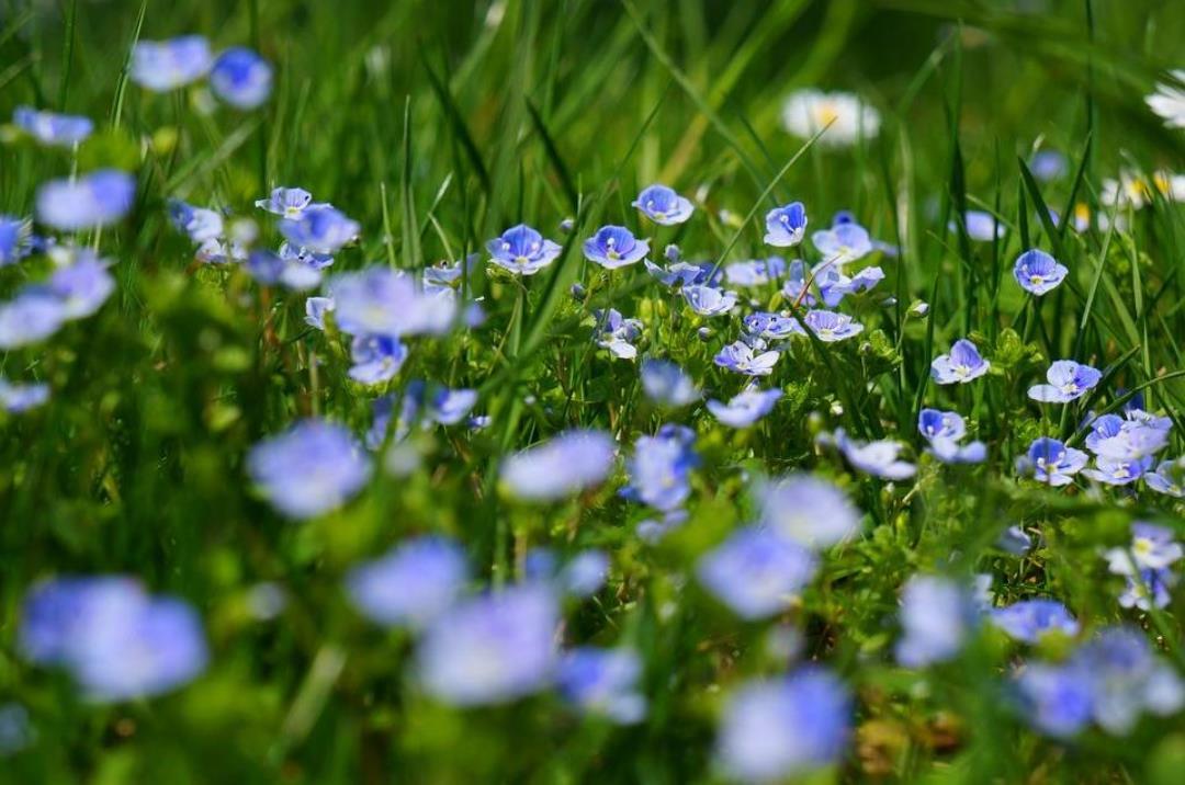 De vilde blomsters dag søndag 16-6-19 kl. 10-12 sammen med Dansk botanisk forening.