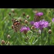 Det skal du plante i din have: Planter sommerfuglene elsker