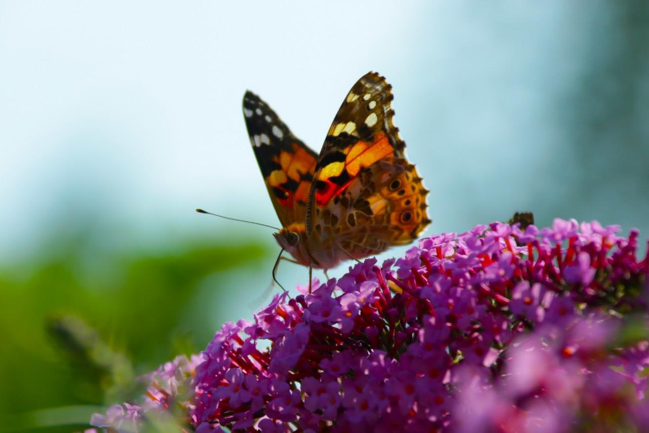 Guide: Sådan planter og vedligeholder du sommerfuglebusk