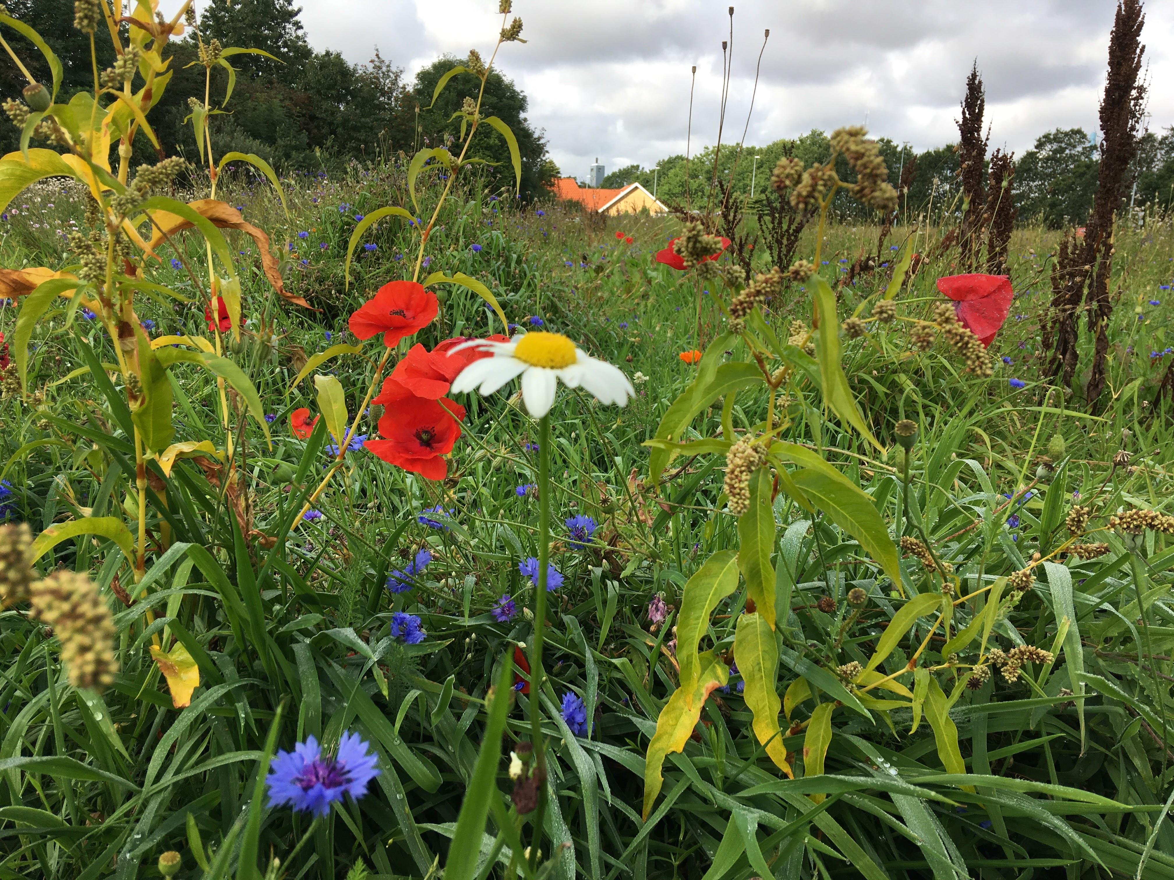 Kommuner planter vildere natur til insekter