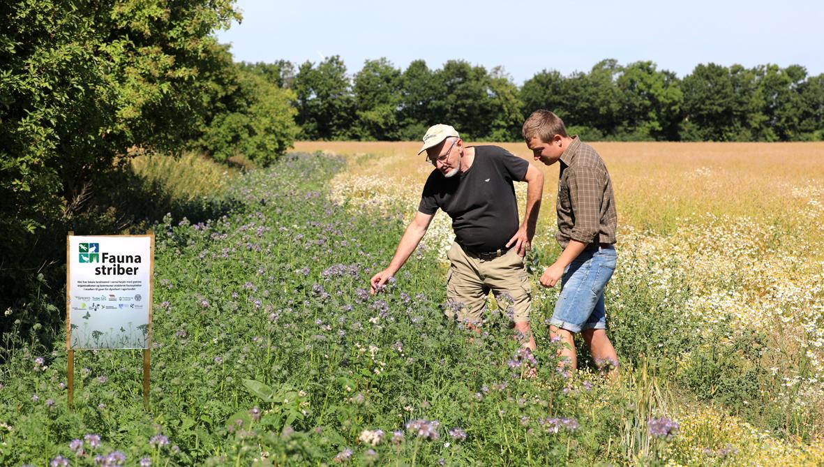 Jyske landmænd sår i stribevis af blomster til insekterne