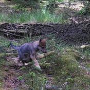 Ulven gør comeback: Seks nye ulveunger fundet i Vestjylland