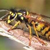Flere hvepse i år: Det frygtindgydende rovdyr gør nytte i din have
