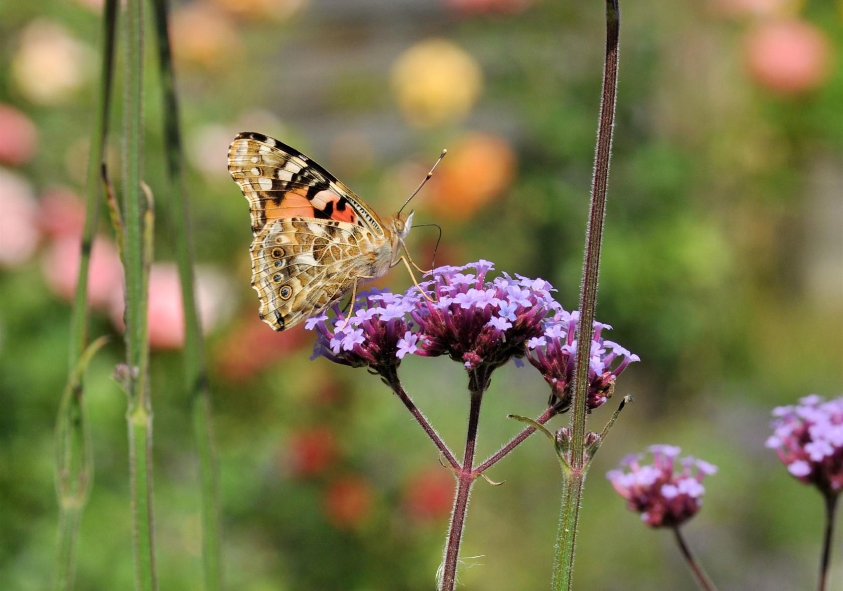 Milliardvis af tidselsommerfugle bliver klækket nu