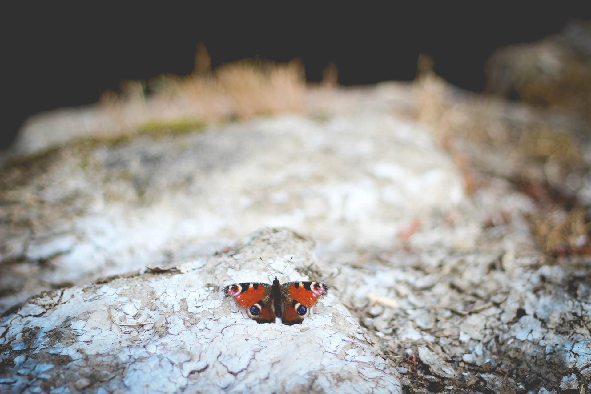 Sommerfuglene gør comeback efter sidste års tørke