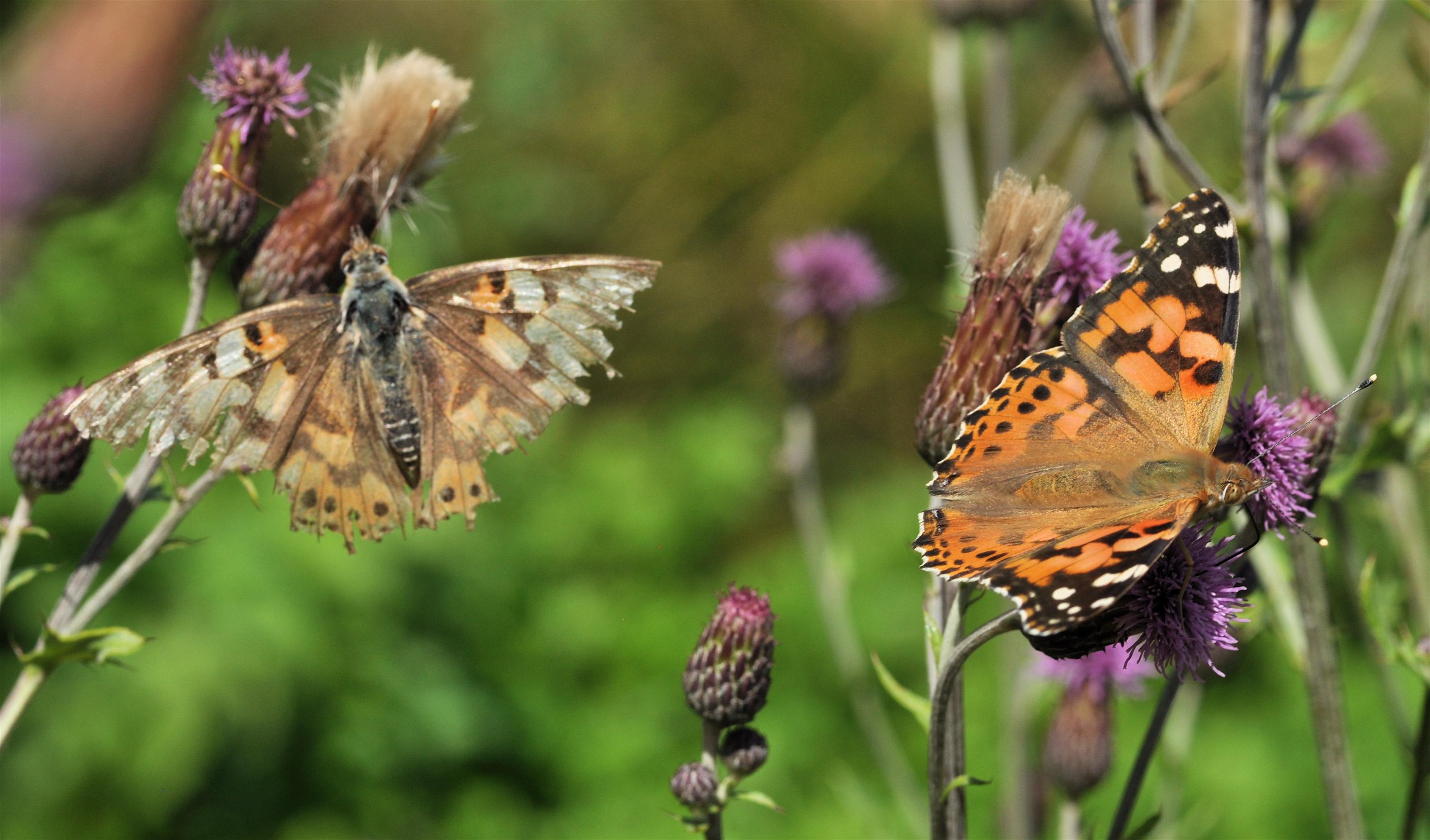 20 mest almindelige danske sommerfugle du kan se i din have