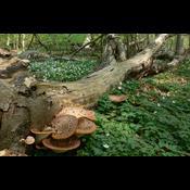 Urørt skov