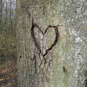 Gamle træer
