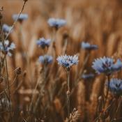 Forsker: Roundup skader vild natur og insekter - også længe efter sprøjtning