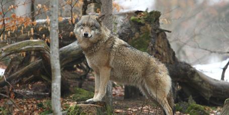 Regeringen vil have flere ulvesikre hegn og indfører vogterhunde