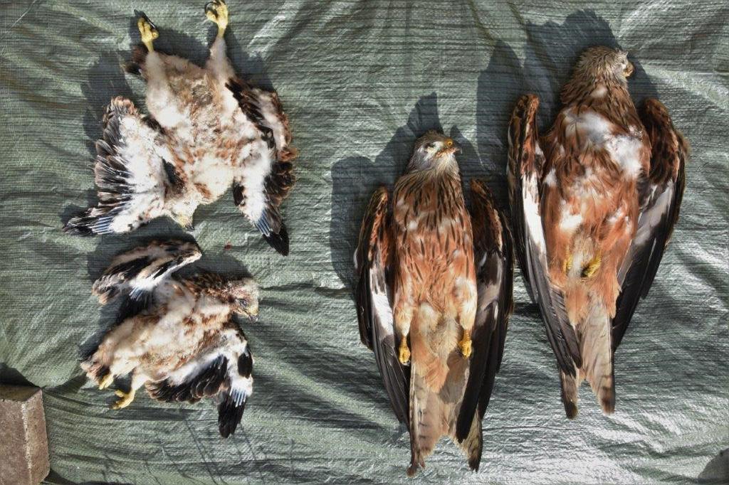 Ulovlige giftdrab på rovfugle savner efterforskning