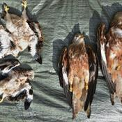 Rovfuglepar fundet i efteråret døde af forgiftning